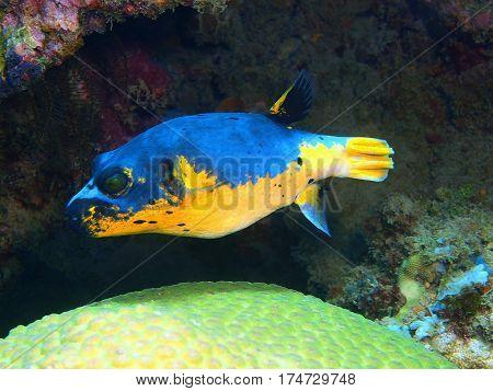 The surprising underwater world of the Bali basin, Island Bali, Lovina reef, boxfish