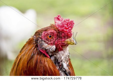 Beautiful multi colored rooster photographed close up