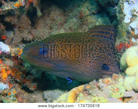 The surprising underwater world of the Bali basin, Island Bali, Lovina reef, moray eel