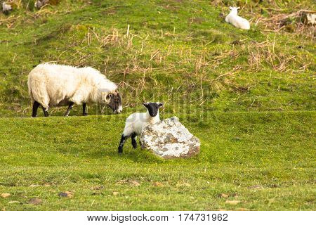 Lamb with black face and sheep isle of Mull Scotland uk