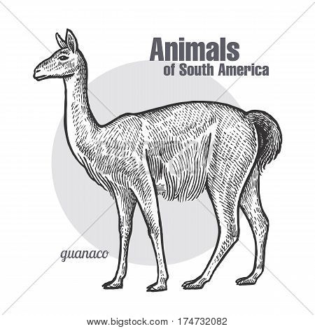 Guanaco hand drawing. Animals of South America series. Vintage engraving style. Vector illustration art. Black and white. Object of nature naturalistic sketch.