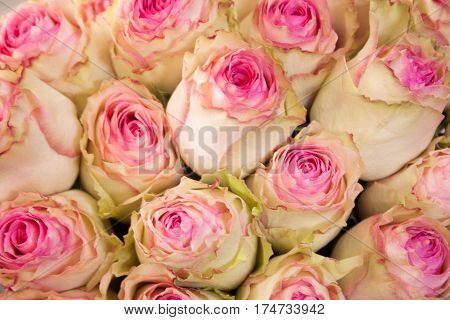 pink and white roses close up for background