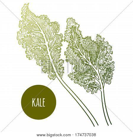 Cabbage leaf. Hand drawing vegetables. Vector illustration art. Green and white. Vintage engraving. Kitchen design.