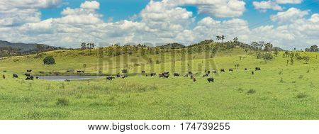 Panoramic view of Australian rural landscape with cows water green grass and blue cloudy sky