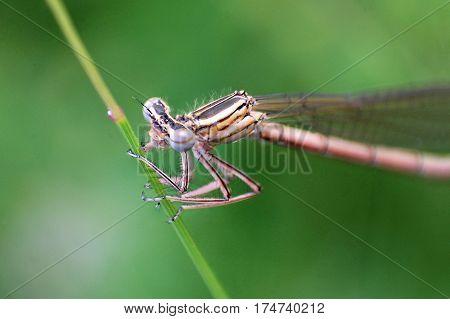 Damselflies, insect in the order Odonata, family, macro