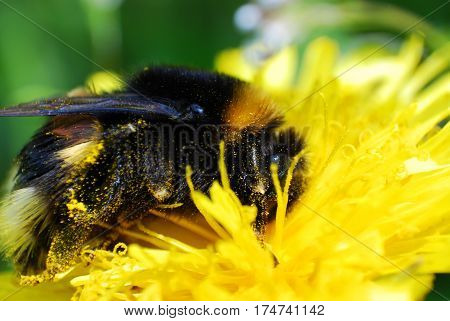 Bumble Bee on dandelion flower in springtime. Collecting nectar