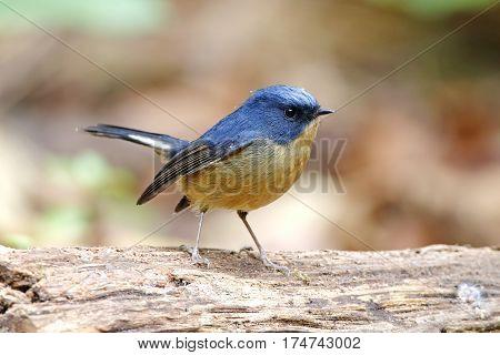 Slaty-blue Flycatcher Ficedula tricolor Male Cute Birds of Thailand