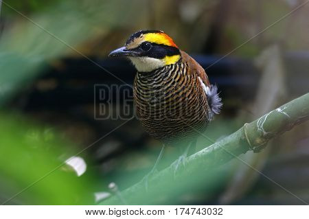 Malayan Banded Pitta Pitta irena Female Birds of Thailand