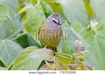Flavescent Bulbul Pycnonotus flavescens Birds of Thailand