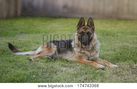 German shepherd on the lawn. Close up