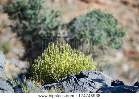 Small spiky rounded leafless shrub growing amongst rocks in the mountains of Oman