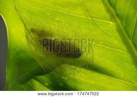 Close up pupa of a butterfly on green leaf