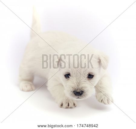 Little bichon puppy isolated over a white background