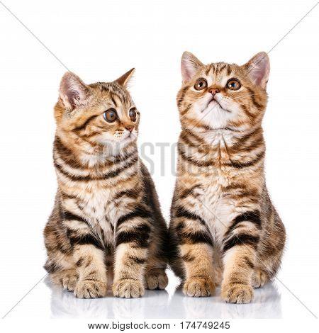 couple Scottish kittens sitting on white background