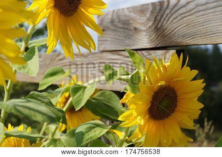 Sunflowers garden. beautiful sunflowers on background wooden fence