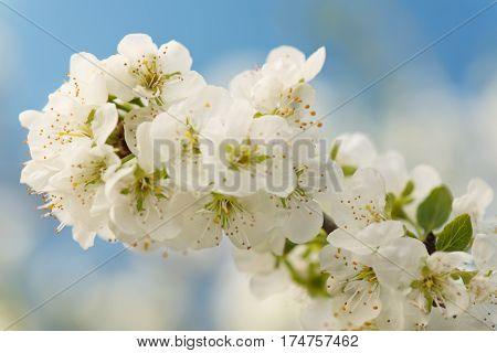 Blossoming cherry tree branch over light-blue background