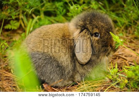 A shy small brown rabbit lying down
