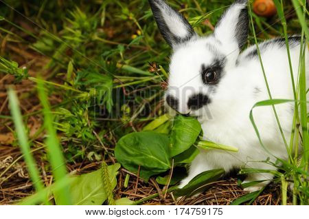 A white and black rabbit eating a leaf