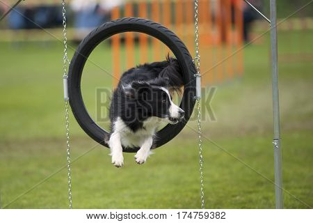 Elegant jump of cute purebred Border Collie. He is jumping through agility hoop. He is looking aside to his handler.