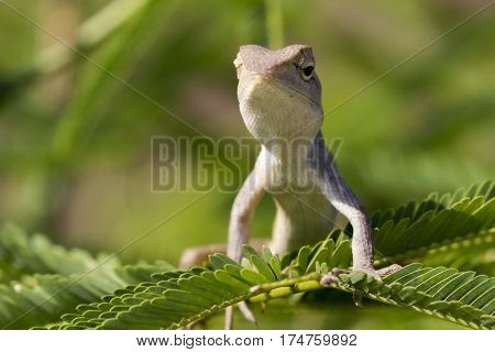 Image of a chameleon on nature background.