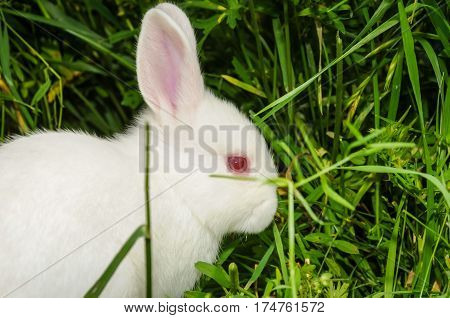 A white rabbit sitting in the grass