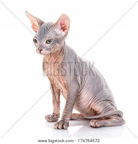 Young canadian sphinx cat on white background