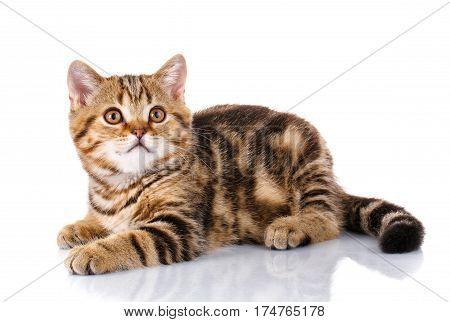 Purebred Scottish Straight Male Cat Lying on Isolated white Background, Front view, Curious Looking up, striped