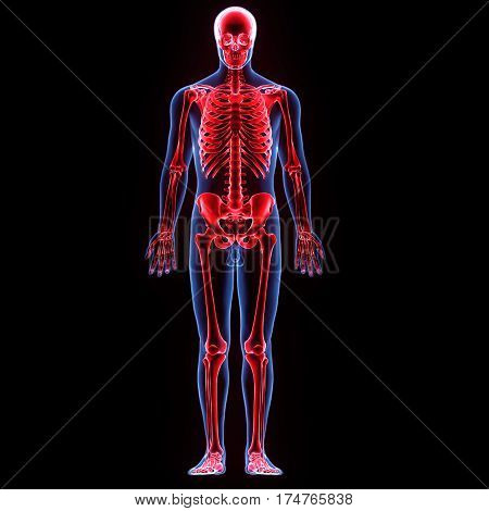 3d illustration human body skeleton of a human body