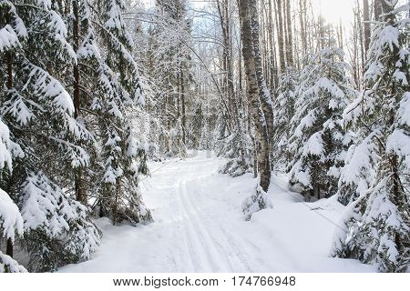 Ski track between snowy fir trees. Winter snow-covered forest species of wild nature.