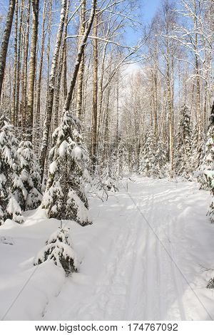 Ski track in winter forest. Winter snow-covered forest species of wild nature.