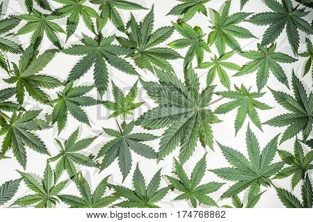 Full frame of green cannabis / hemp / ganja / marihuana leafs.