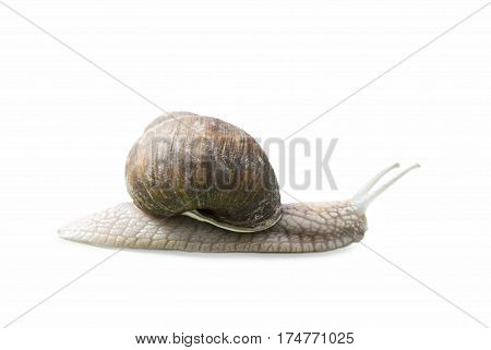 Burgundy snail (Helix Roman snail edible snail escargot) isolated on white.