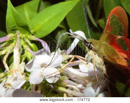 Humming Bird Moth Extracting Pollen