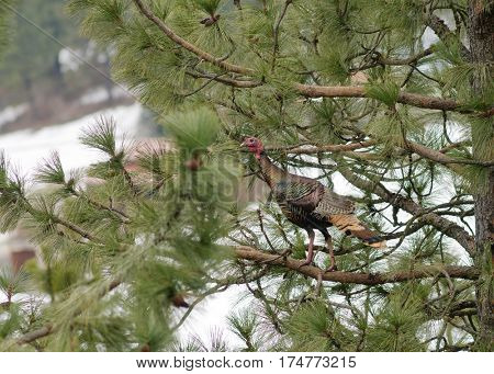 Male turkey roosting in a coniferous tree