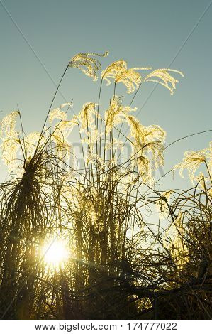 Sun rays through the thickets of reeds. Natural background.