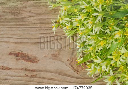 Yellow Gagea lutea  flower blossom. Yellow Star of Bethlehem