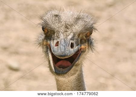 Close-up Portrait of Ostrich against Blury Background