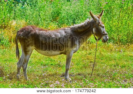 Tied Donkey on the Pasture in Bulgaria