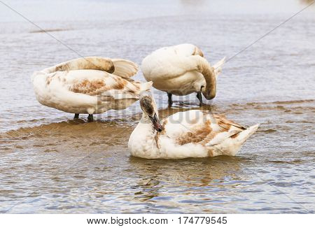 Three Swanlings cleaning their feathers on the island of Usedom in Poland.