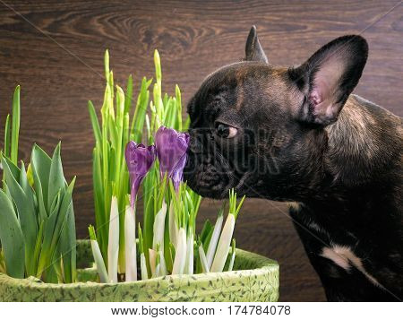 Dog smelling flowers. The black dog's snout purple crocuses