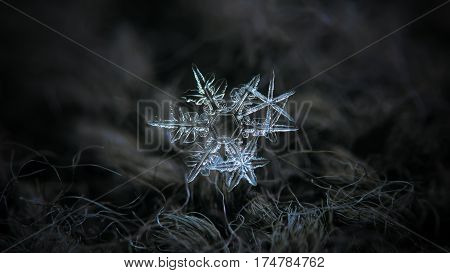 Macro photo of real snowflakes: cluster with three snow crystals of stellar dendrite type with long and sharp arms, elegant structure and complex shapes, glittering on dark gray woolen background in dim light of winter sky. This is horizontal version with