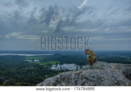 Wild monkey on a rock.Sri cable landscape. Monkeys in Asia natura.Tourists at Sigiriya.