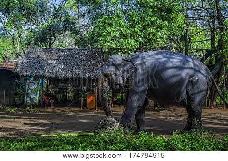 Domesticated elephant feeds. National park. Pinnawala Sri Lanka.Asian young Elephant nature background.
