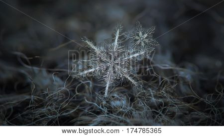 Macro photo of real snowflakes: flat cluster with two snow crystals of stellar dendrite type with long, elegant arms, lots of side branches and tiny icy