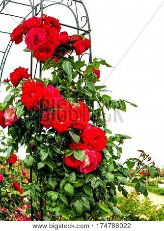 Tall red climbing roses in a rose garden