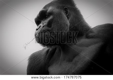 A close up of a large gorilla