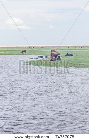 Bulls Swimming In Lake, Cows And Cattle Resting On A Farm In Lagoa Do Peixe National Park