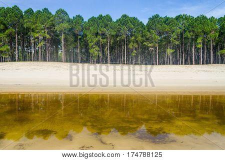 Pinus Elliottii Forest At Lagoa Dos Patos Lake