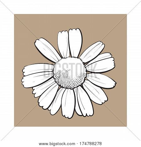 Open black and white chamomile blossom, top view, sketch style vector illustration isolated on brown background. Realistic top view hand drawing of wild chamomile, field flower