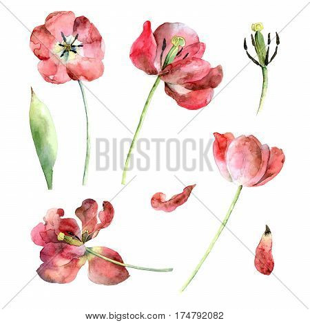 Set of red tulips isolated on white background. Watercolor illustration